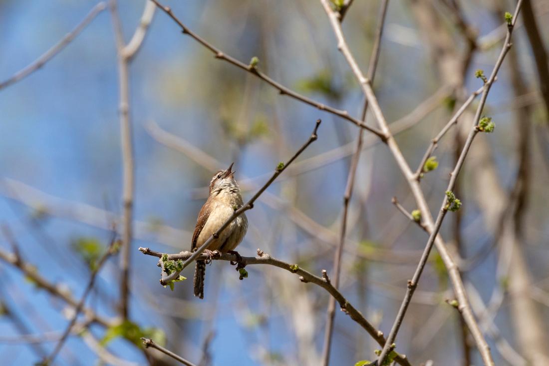 098/365 Carolina Wren singing in the sunshine
