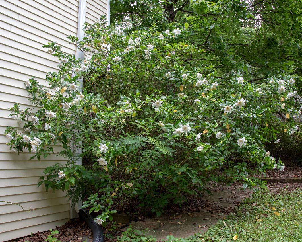 163/365 Monster gardenia bush is in bloom!