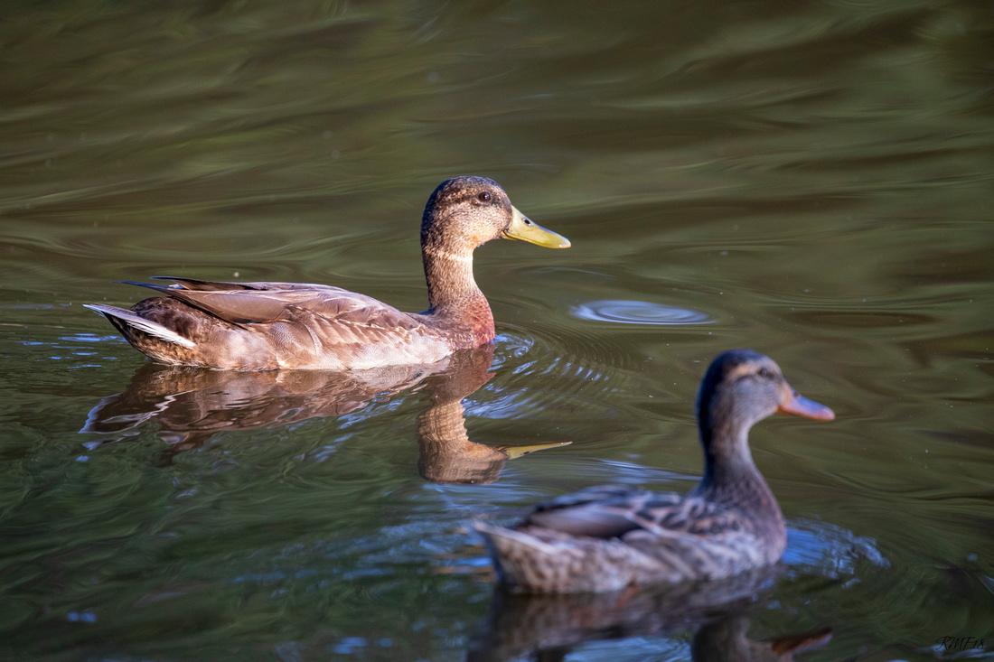 219/365 Ducks ducks ducks