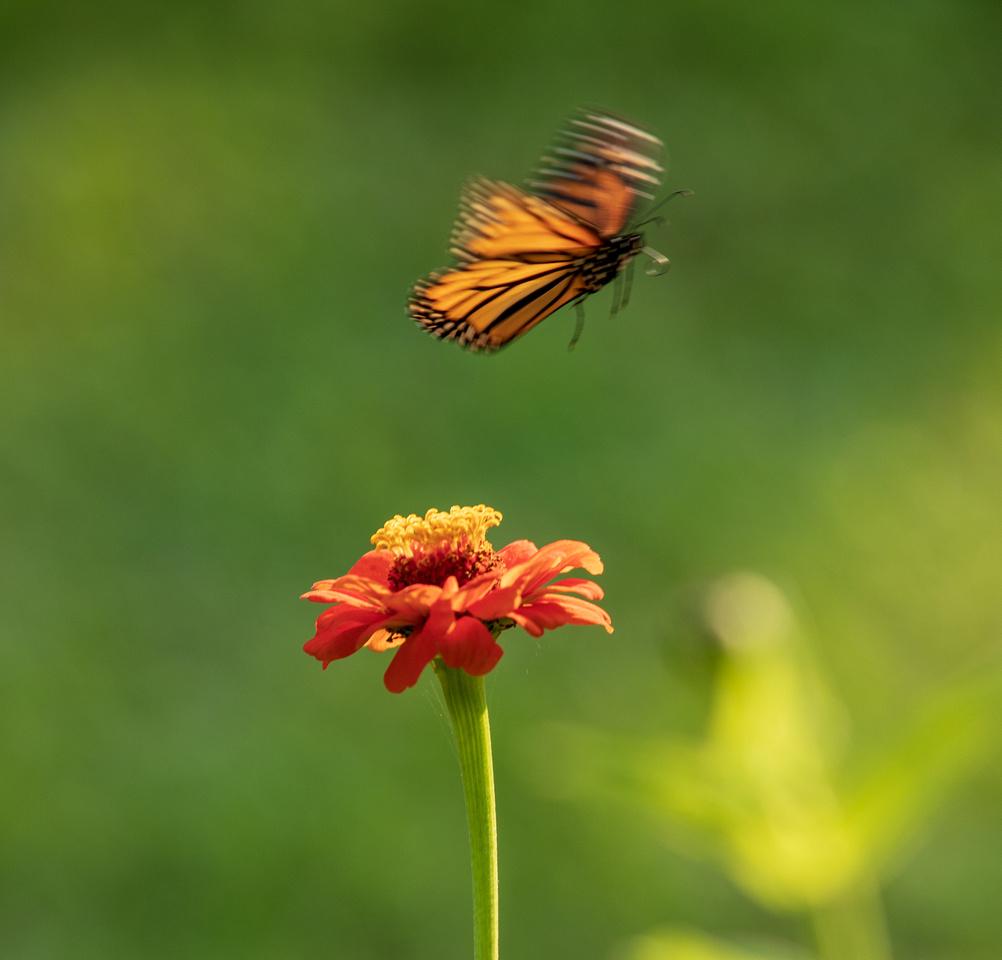 230/365 Monarch in flight