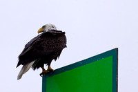 Bald Eagle on the channel marker