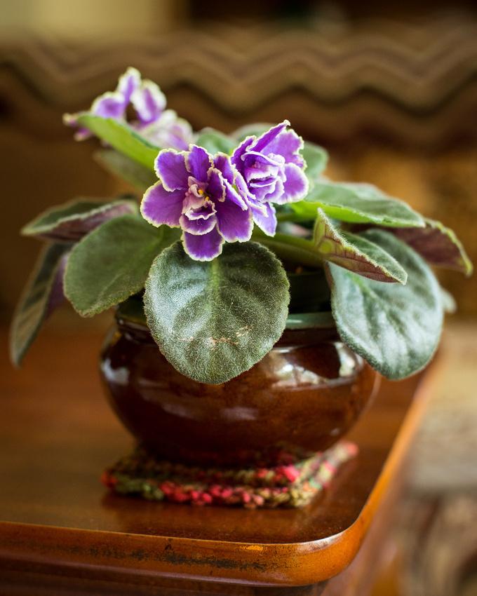 228/365 Pearl Lake African Violet