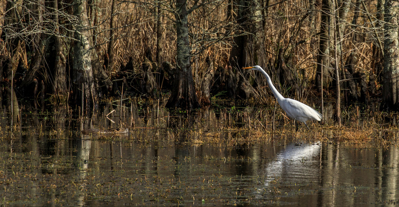 The Great Egret and the Beaver