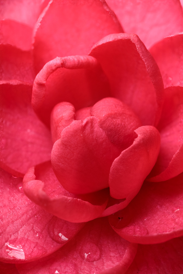 042/365 Camellia, It is time for your closeup