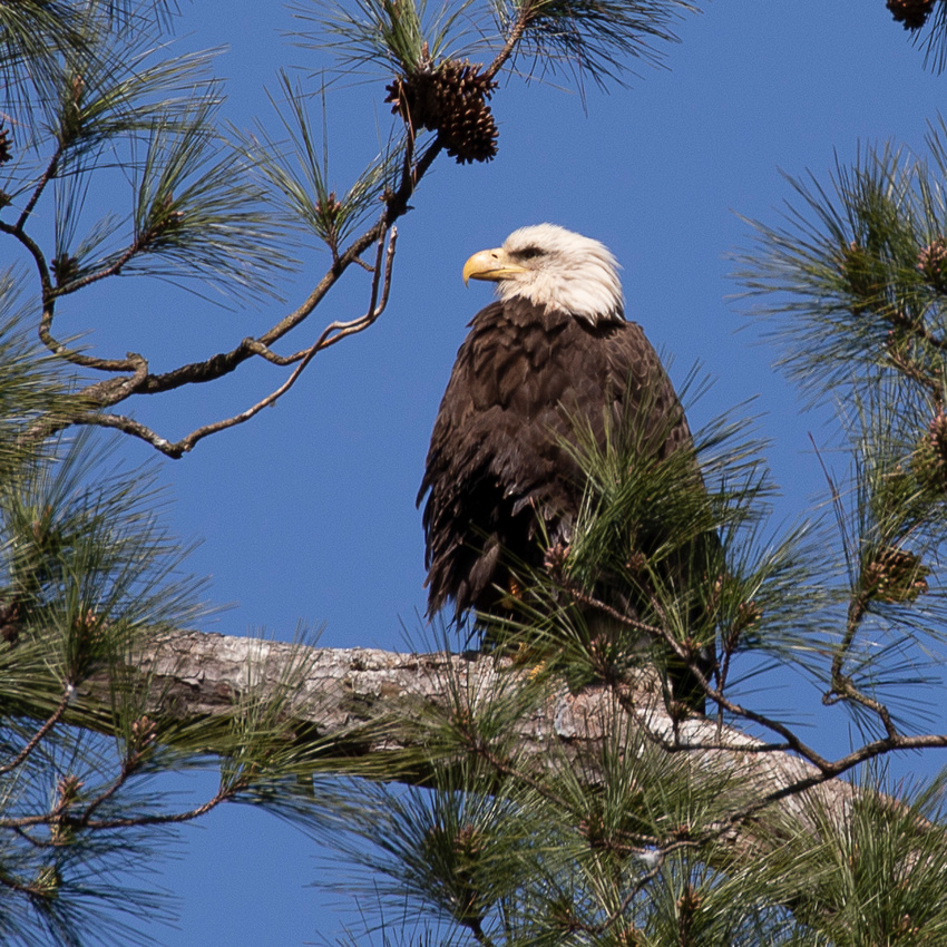 Big Apple Pizza Virginia Beach: Walked Around Shelly Lake Spotted A Bald Eagle They Have