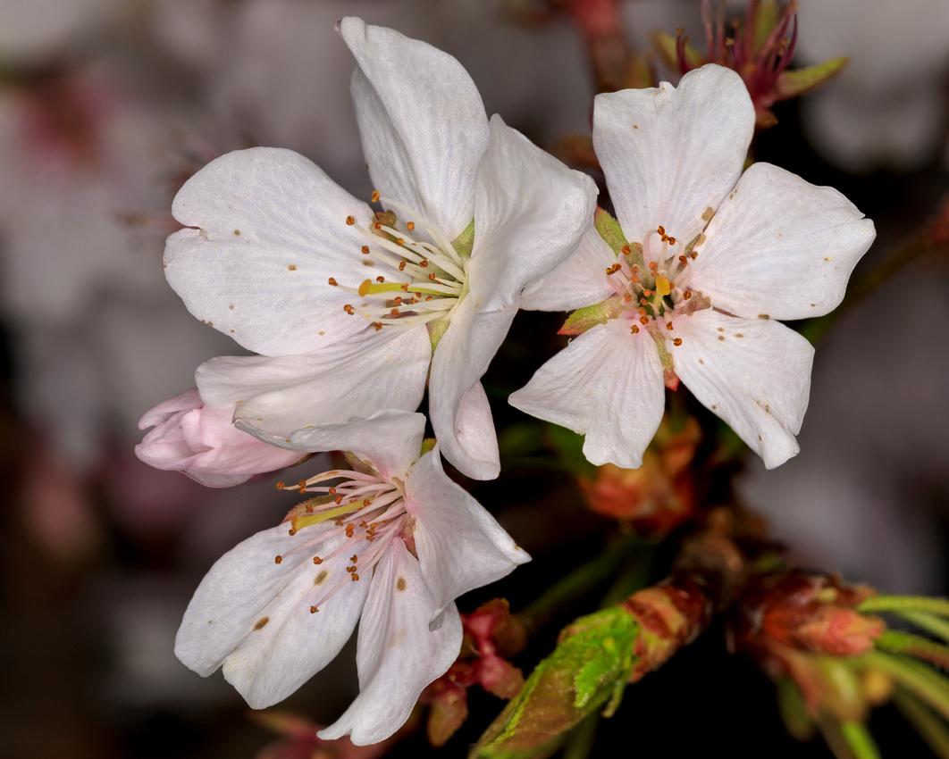 079/365 Cherry blossom closeup