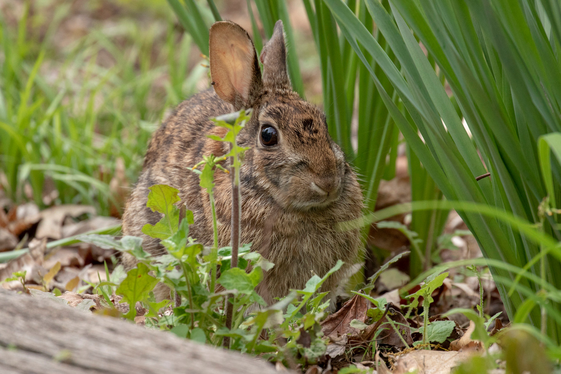 108/365 Wabbit Wednesday, wild cottontail edition