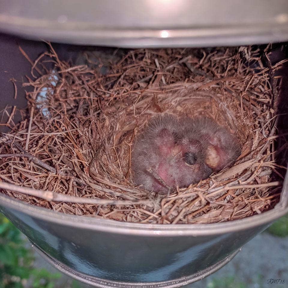 123/365 Fuzzy baby birds